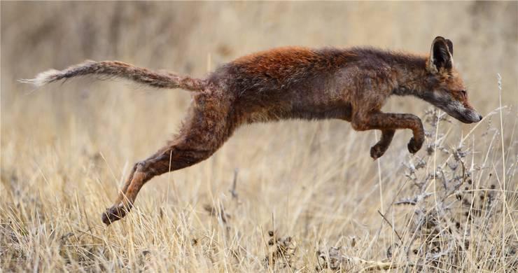 Dieser Rotfuchs rennt zwar noch – aber Fell und Haut sterben wegen der Fuchsräude ab. Die meisten Tiere sterben innert dreier Monate. Wikipedia