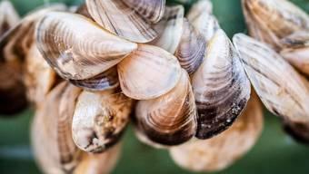 Kesswil 20.07.2020 TG - Sommermedienfahrt Kesswil, invasive Neobiota im Bodensee. Unteranderem macht die Quagga Muschel dem Bodensee zu schaffen. Die Muschel stammt aus dem schwarzen Meer und vermehrt sich rapide. Zudem verstopft sie die Wasserleitungen, welche in die Wasserwerke führen.