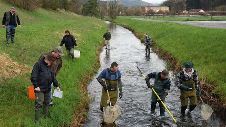 Die Mitglieder der Pachtvereinigung unteres Aaretal fischen den Binnenkanal aus. Über 20 Zentimeter lange Fische werden umgesiedelt, um das Überleben der Junglachse zu sichernZVG