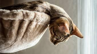 Eine Katzensteuer? Was Hundebesitzer längst bezahlen, soll auch Katzenhaltern blühen.