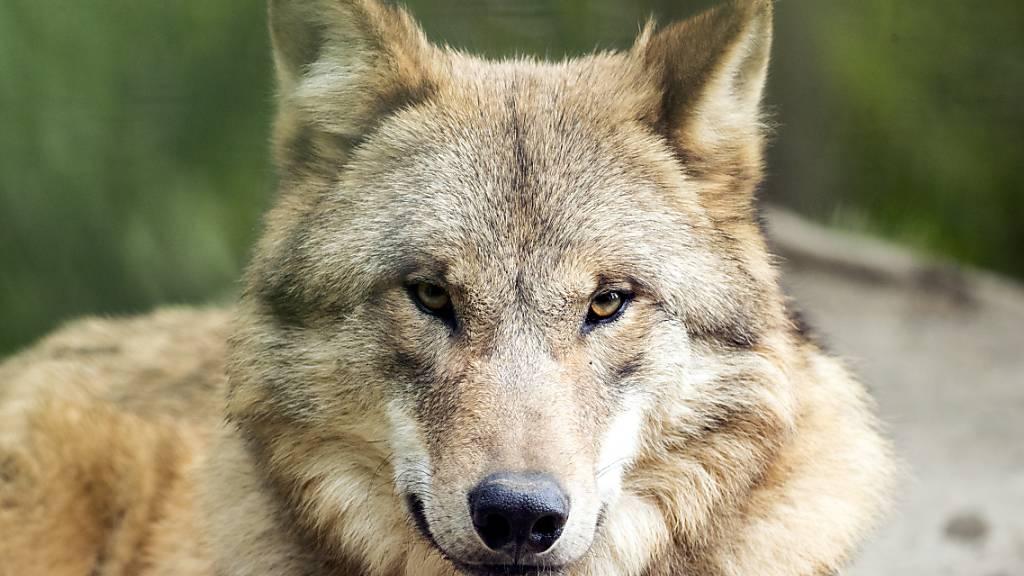 Der Wolfschutz in der Schweiz wird nicht gelockert. (Archivbild)