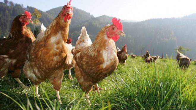 Auch ausländische Hühner für Poulets sollen glücklich sein. Foto: HO