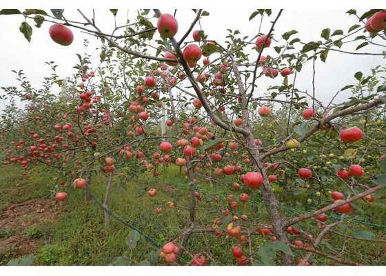 Kim Jong Un schaut sich eine Apfelplantage an