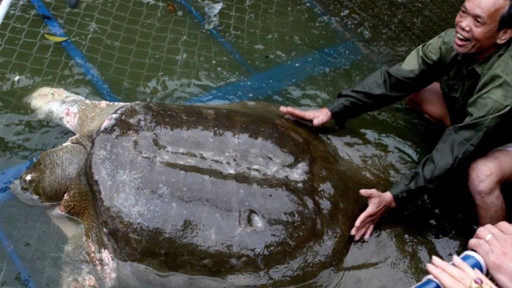 Aufnahme der sagenumwobenen Schildkröte Cu Rua, die mehr als 100 Jahre in einem See in Hanoi gelebt hatte (Archivbild 2011)