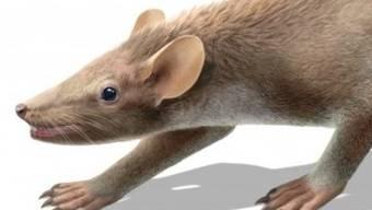 Das Kreidezeit-Säugetier war etwa zwei- bis dreimal so schwer wie eine Hausmaus.
