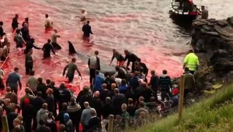 Walschlachten vor der Küste Sandavágurs: Die grossen Meeresäuger treiben im blutroten Meer.