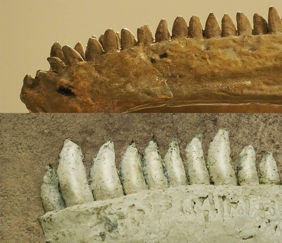 Dinosaurier-Skelett (© Zur Verfügung gestellt)