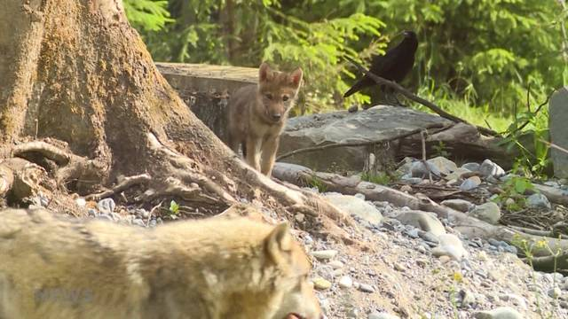 Zwei junge Wölfe bereichern Dählhölzli