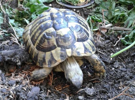 Der Besitzer der Schildkröte kann sich beim Finder per E-Mail melden: michael.sinelli@gmx.ch