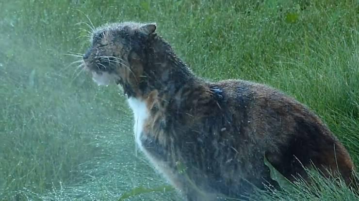 Nicht nur Hunde, auch Katzen scheinen im Sommer Freude am kühlen Nass zu haben.