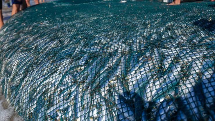 Einheimische holen die vollen Fischernetze mit Sardinen ein. Der sogenannte «Sardine-Run» ist ein einmaliges Naturschauspiel, das jedes Jahr Tierfilmer aus aller Welt anzieht. Foto: Justin Klusener Photography/Ugu South Coast Tourism/dpa - ACHTUNG: Nur zur redaktionellen Verwendung im Zusammenhang mit der aktuellen Berichterstattung und nur mit vollständiger Nennung des vorstehenden Credits