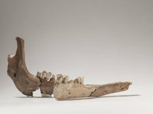 Die Teile des Kamelunterkiefers, gefunden mit 80 Jahren Abstand, passen aneinander.