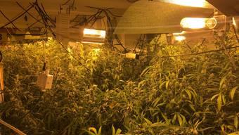 Die Polizei stellte 25 Kilogramm getrocknete Pflanzen, sieben Kilogramm verkaufsfertiges Marihuana, 360 frisch geerntete Pflanzen, etwa 60'000 Franken Bargeld und eine Faustfeuerwaffe sicher.