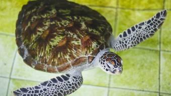 Am häufigsten werden lebende Reptilien gehandelt, z.B. Schildkröten