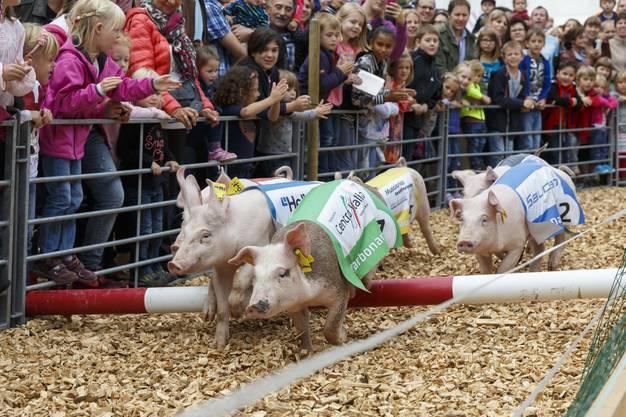 Die Schweine haben auf dem Rundkurs auch Hindernisse zu absolvieren