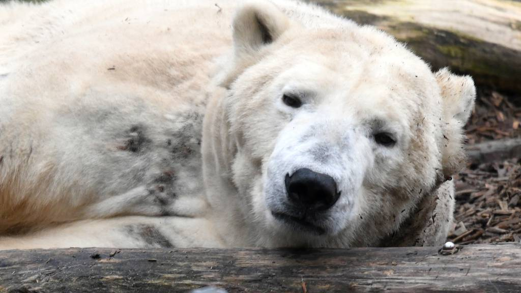 Ein Eisbär im Berliner Zoo.