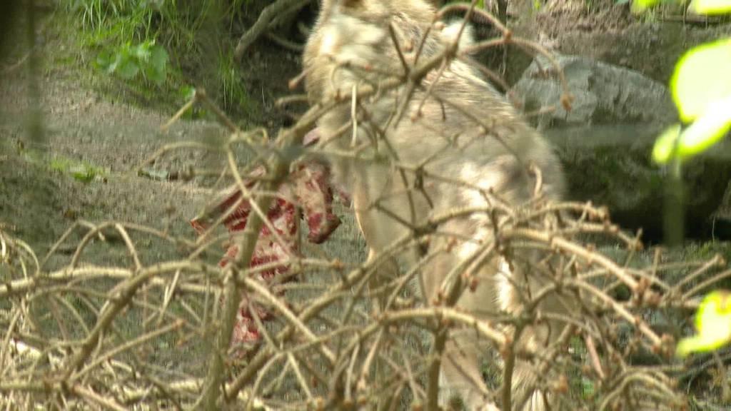 Wolf im Visier: Zunehmende Rudelbildung befeuert Debatte