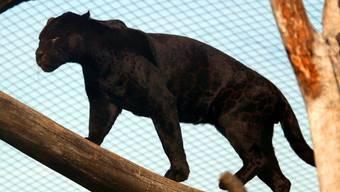 Ein Puma, hier hinter Gittern im Zoo (Archiv)