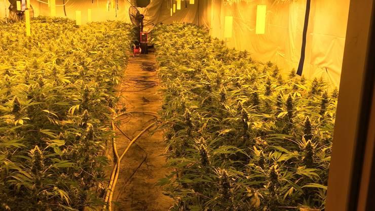 Bei der Durchsuchung entdeckten die Polizisten im Gebäude drei illegale Hanfanlagen mit total über 8'000 Pflanzen in verschiedenen Wachstumsstadien.