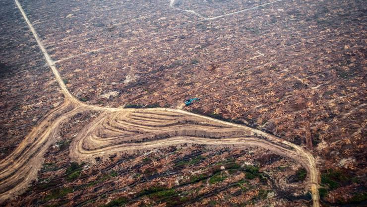 Für Palmölplantagen wird im grossen Stil Regenwald zerstört.