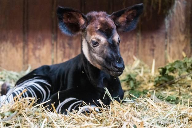 Der Zoo Basel unterstützt in der Demokratischen Republik Kongo seit mehr als dreissig Jahren das «Okapi Conservation Project».