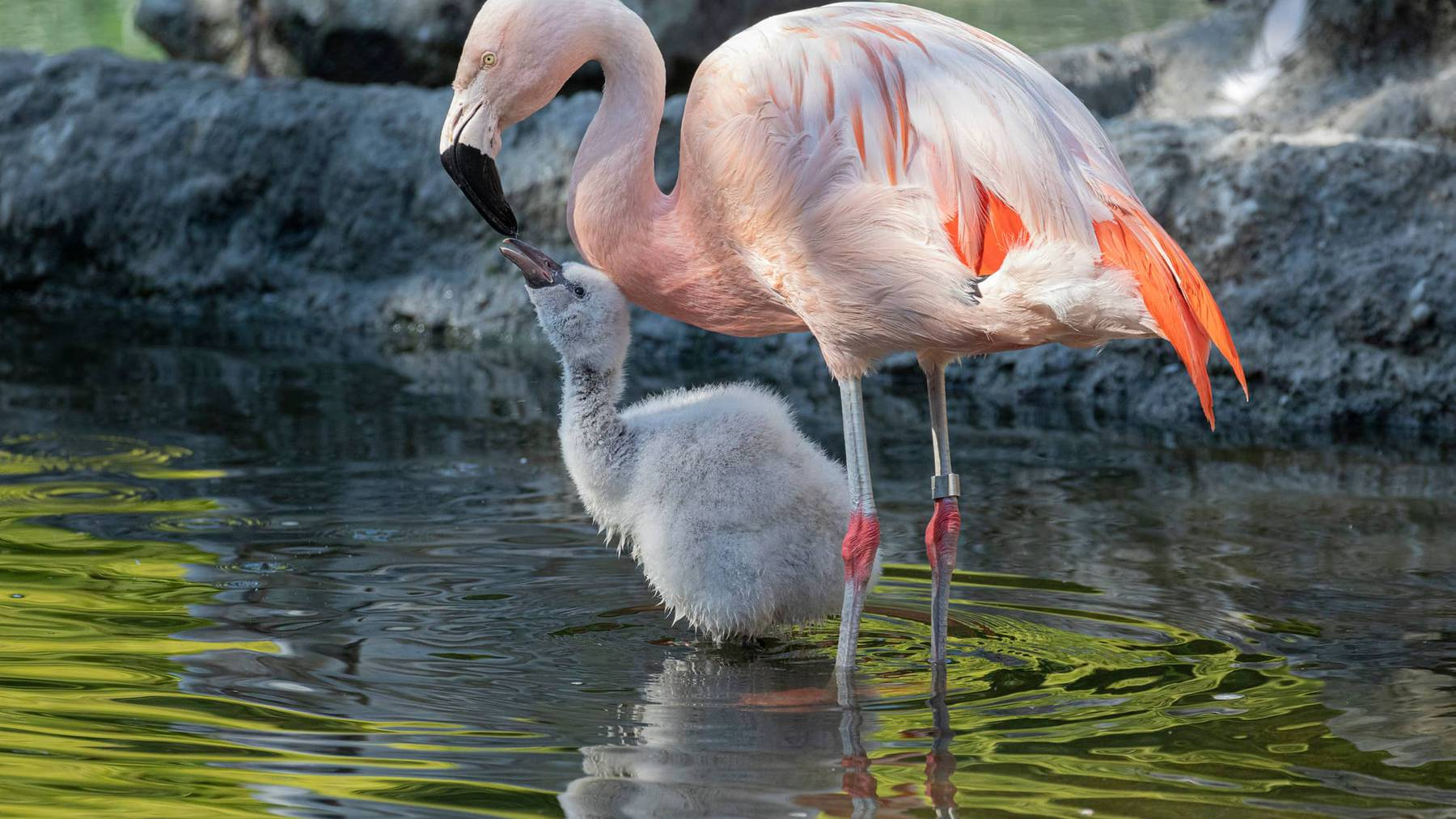 Chile-Flamingo mit Jungtier im Zoo Zürich.