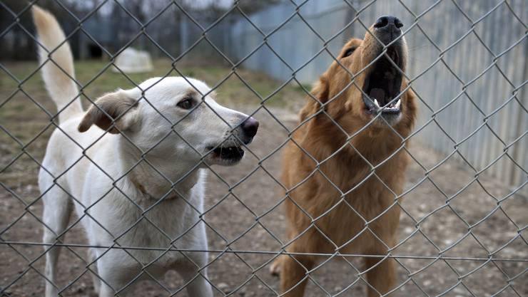 Der Hundezwinger war nur für vier Hunde konzipiert. Der Halter sollte eine Lösung für die überzähligen Hunde finden. (Symbolbild)