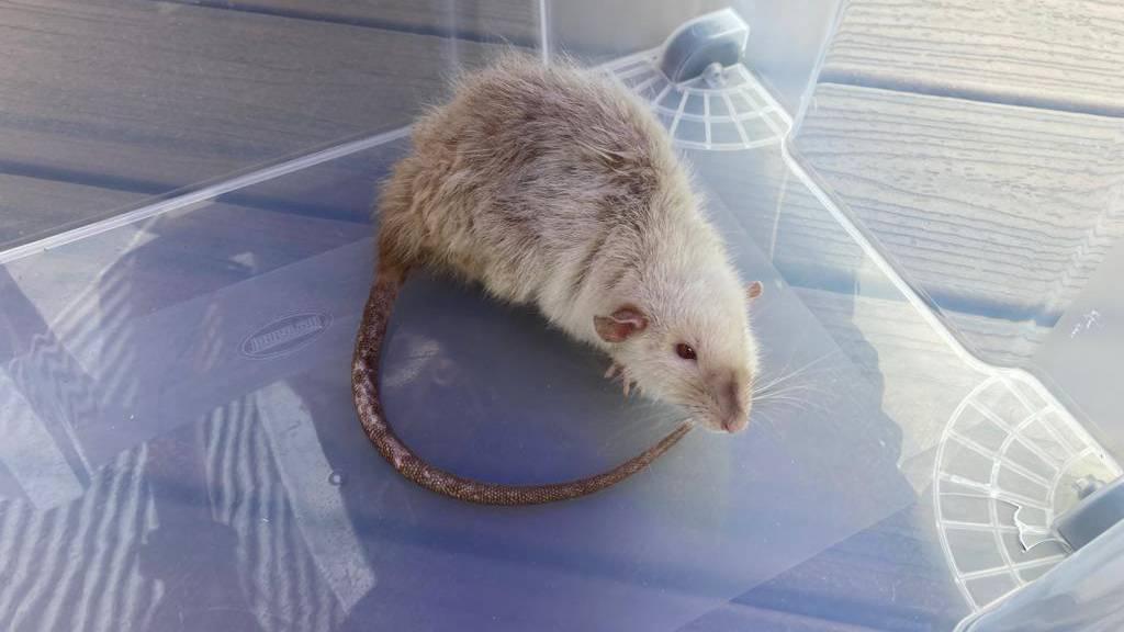 Wer vermisst eine weisse Ratte?