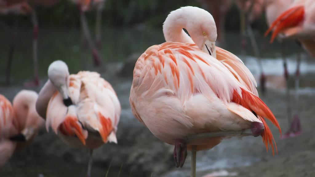 Ein Fuchs hat mehrere Flamingos vom Kinderzoo Rapperswil gerissen. (Symbolbild)