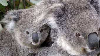 Die Koalas im australischen Bundesstaat New South Wales leiden unter ständigem Stress, was sie anfälliger für lebensbedrohliche Krankheiten macht.