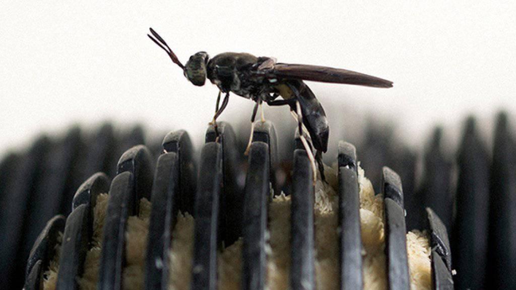 Die Larven der schwarzen Waffenfliege können Bioabfälle in Anlagen zersetzen und nachher als Tierfutter dienen.