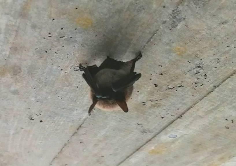 Diese kleine Fledermaus schläft in einer Fussgängerunterführung. (Bild: Screenshot Facebook)