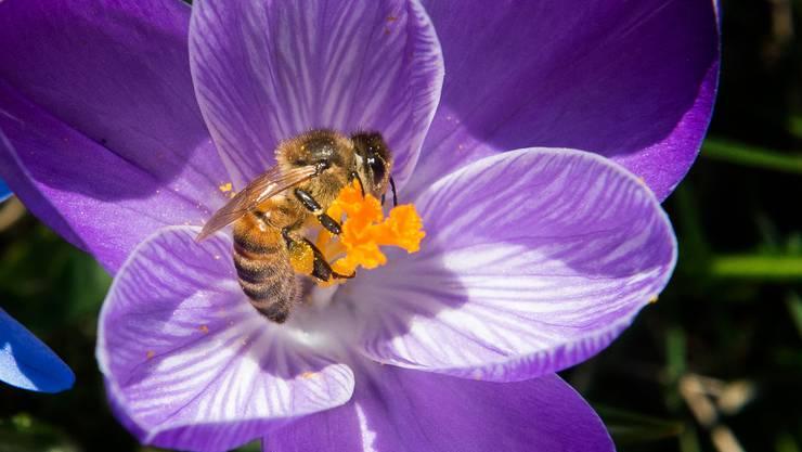 In einem Zürcher Garten leben bis zu 30 verschiedene Bienenarten.
