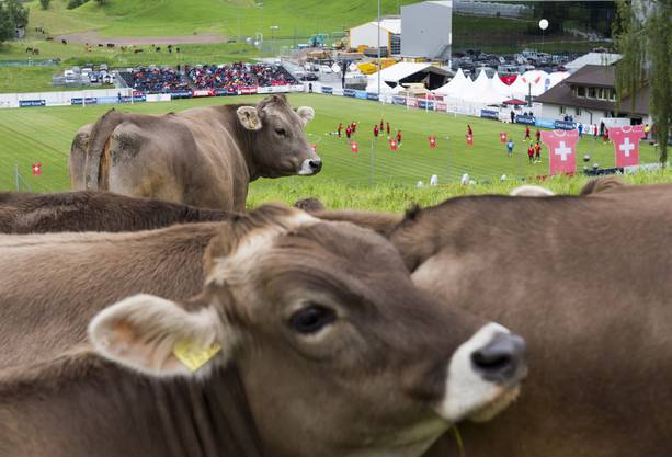 Kuehe verfolgen das Training der Schweizer Fussball Nationalmannschaft.