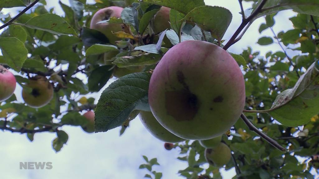 Apfelernte fällt ins Wasser