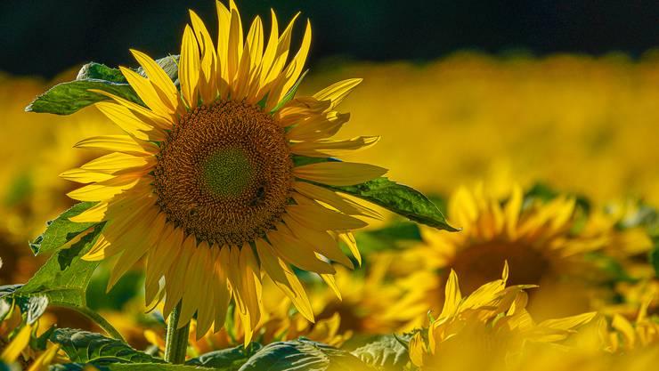 Sommer, Sonne und hunderttausend Sonnenblumen.