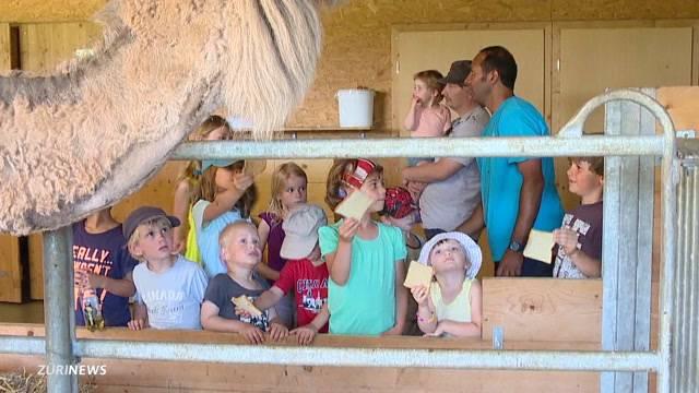 Baby-Boom auf Kamelfarm in Oberglatt