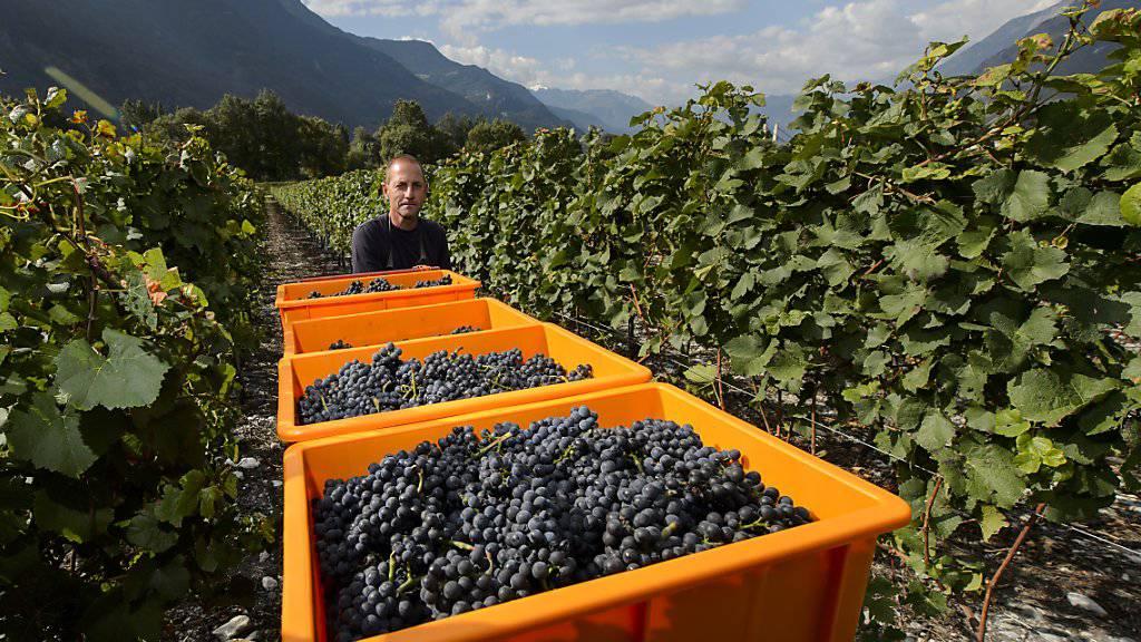 Der Weg Walliser Trauben soll ab der Weinlese 2017 von der Rebe bis ins Glas AOC-Wein nachgezeichnet werden können. (Archivbild)