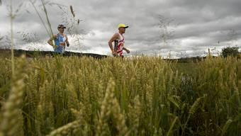 Die Läufer bei einem Weizenfeld auf dem Weg nach Oensingen