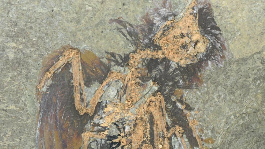 In der Grube Messel stiessen Forschende auf ein aussergewöhnlich gut erhaltenes Fossil einer bisher unbekannten Vogelart. (Pressebild)