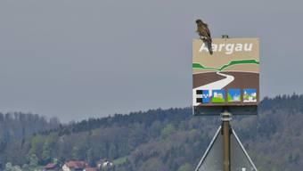 Ein Mäusebussard auf dem Aargauer Kantonsschild an der Grenze zum Kanton Luzern in Menziken.