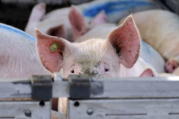 Kritik an Massentierhaltung: Eine nationale Initiative fordert, die Massentierhaltung in der Schweiz abzuschaffen. Verschiedene Umwelt- und Tierschutzorganisationen unterstützen das Anliegen und sammeln Unterschriften. Sie argumentieren mit dem Leid der Tiere, aber auch mit dem Klimawandel. Denn die Fleischproduktion trägt gemäss UNO fast 15 Prozent zum weltweiten Ausstoss von Treibhausgasen bei.