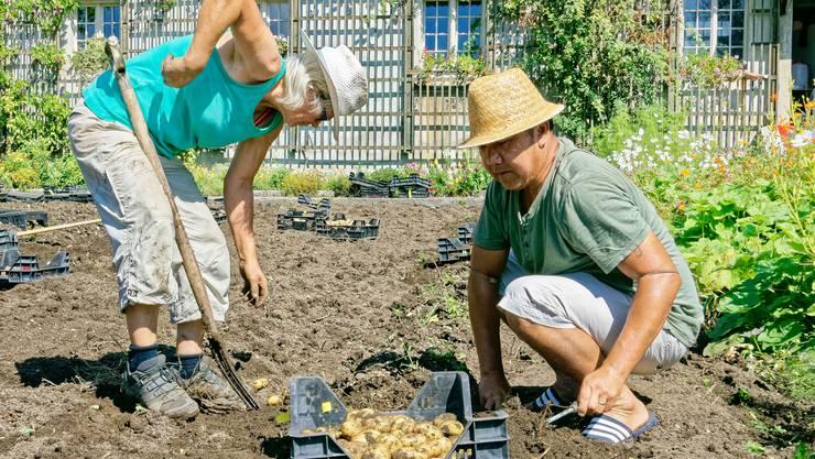 Wie in alten Zeiten von Hand holen Mitarbeitende von Artha Samen Kartoffeln von 19 Sorten aus dem Boden des Kapuzinerklosters Solothurn, aus jenem Teil, der als Sortengarten angelegt ist.