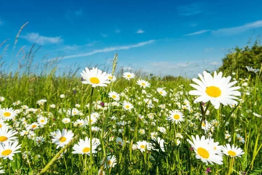 Gänseblümchen sind auch ein Heilmittel. ©iStockphoto/no_limit_pictures