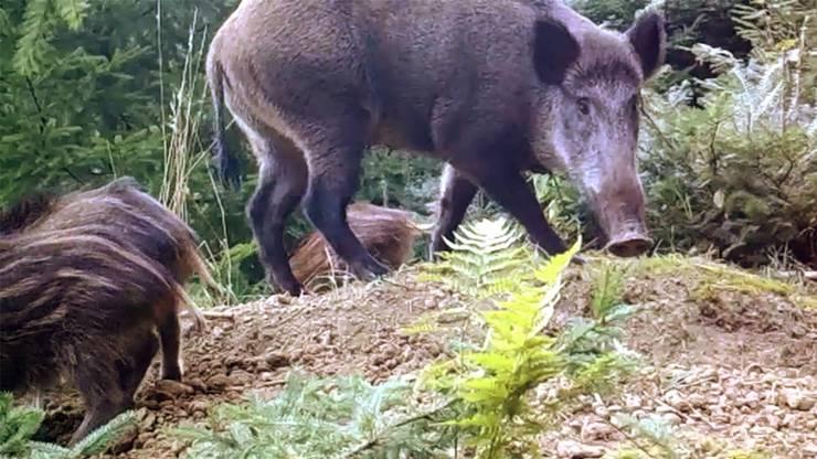 Eine Wildschweinfamilie tappt in Heinz Jakobs Fotofalle im Safenwiler Wald.Zvg