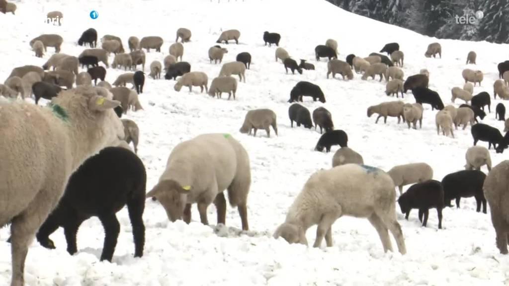 Adligenswiler Schafshirte im Schnee