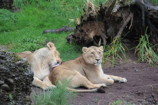 Die Löwinnen lassen sich nicht von den Slammers beeindrucken und geniessen ihren Feierabend