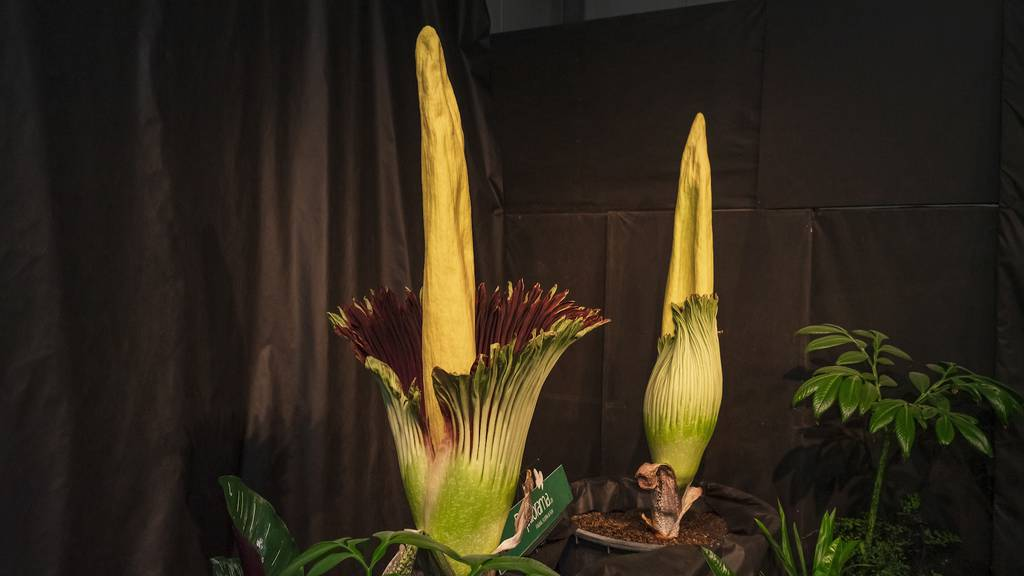 Grösste Blume der Welt blüht - und stinkt