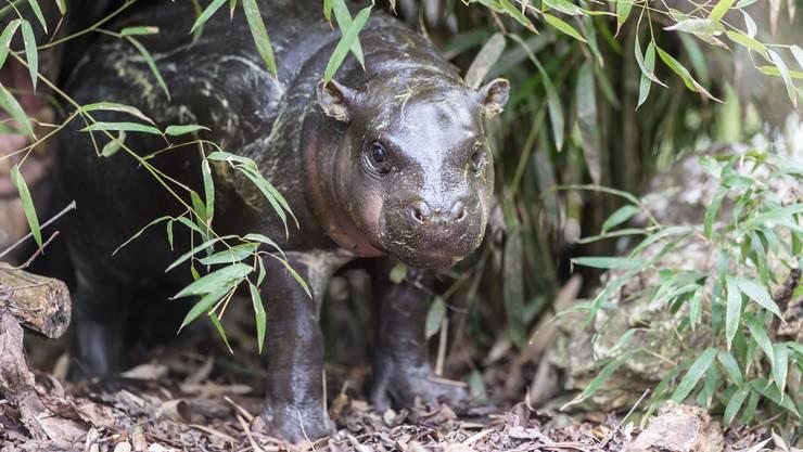 Am 9. November ist Zwergflusspferd Nyande zur Welt gekommen.