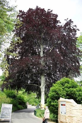 Die Blutbuche neben der Elefantenanlage ist Christens Lieblingsbaum im Zolli.